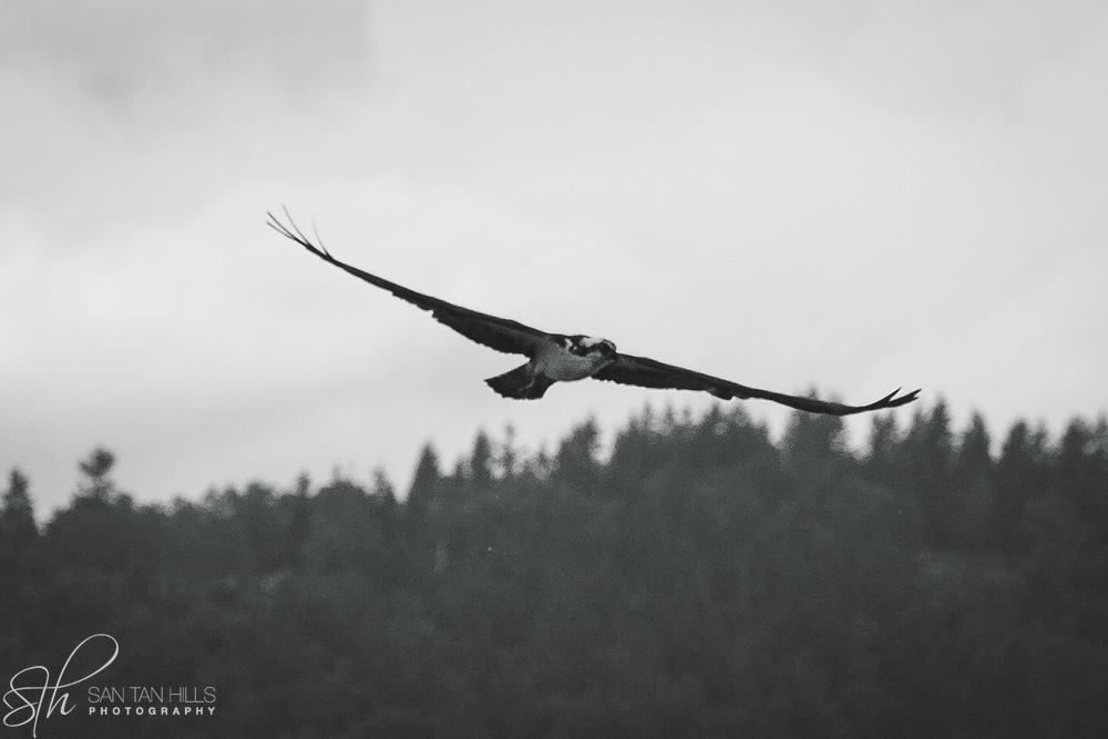 Osprey soaring above Puget Sound - B&W - Dash Point State Park - Federal Way, WA