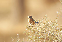 A female Western Bluebird sits on the edge of sagebrush as the sun sets.