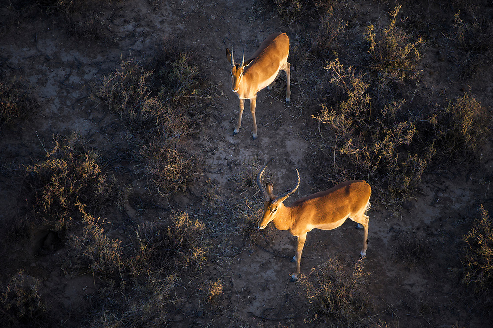 Impala (Aepyceros melampus)<br /> Private game ranch<br /> Great Karoo<br /> SOUTH AFRICA