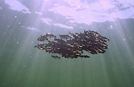 School of juvenile Black Bullhead<br />