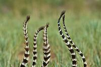 Ring-tailed lemur tails (Lemur catta), Southern Madagascar