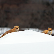 A pair of Ezo red foxes (Vulpes vulpes schrencki), called Kita Kitsune in Japanese, wandering through a populated area. These foxes are accustomed to the presence of people and can often be seen patrolling areas around houses, farms and other buildings in Hokkaido, Japan.
