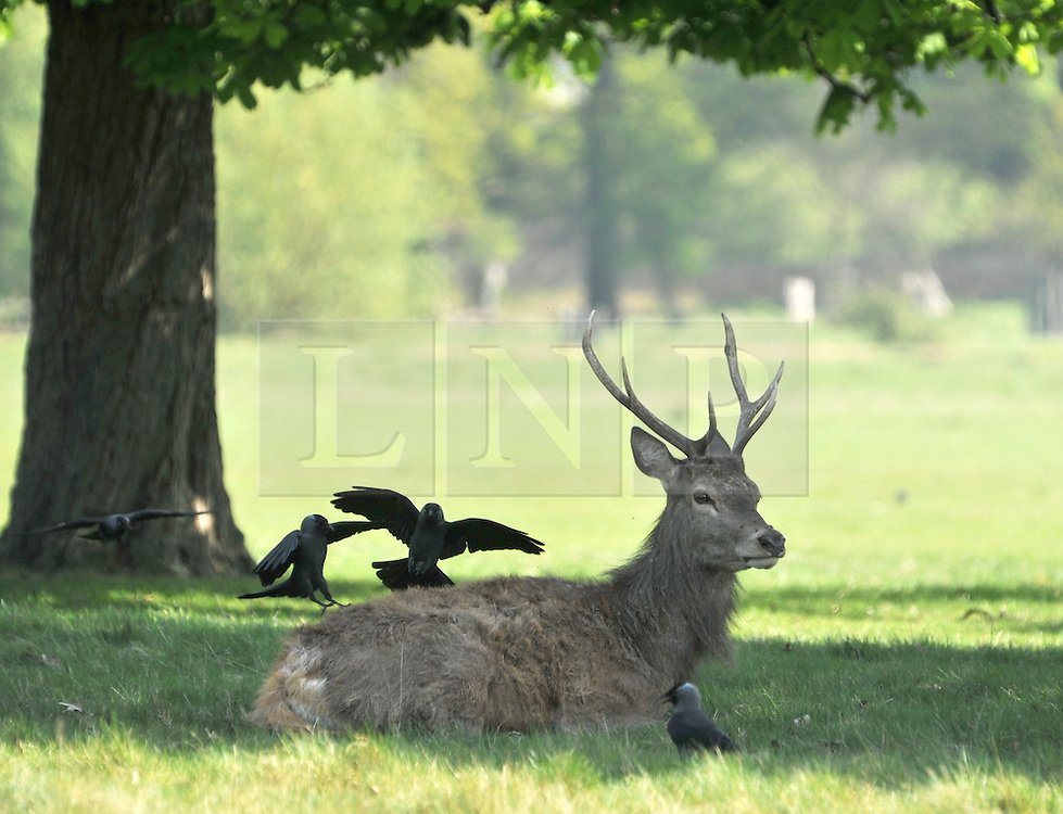 © licensed to London News Pictures. RICHMOND UK. 19/04/11. A stag takes advantage of an early morning clean from some crows. Deer in Richmond Park, Surrey take to the shade early this morning as temperatures are expected to hit 25 degrees Celsius in the South East today (19 April 2011) . Forecasters predict temperatures will continue to rise over the coming week .See special instructions for usage rates. Photo credit should read Stephen Simpson/LNP