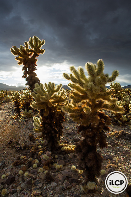 Joshua Tree National Park's Cholla Cactus Garden.