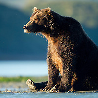 USA, Alaska, Katmai National Park, Grizzly Bear (Ursus arctos) sitting on banks of salmon spawning stream along Kukak Bay on autumn morning