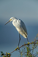 Snowy egret (Egretta thula) perched in tree watching for fish in the shallows of Lake Chapala,