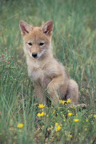 Coyote, (Canis latrans) Portrait of pup. Rocky mountains. Montana  Captive Animal.