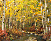 Aspens, Lee Vining Creek, Lee Vining Canyon, Inyo National Forest, California
