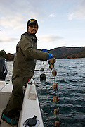 Hiromitsu Ito of Oh! Guts! pulls a line of juvenile scallops from the bay at Ogatsu, Ishinomaki, Miyagi Prefecture, Japan on 01 Dec 2011. .Photographer: Robert Gilhooly