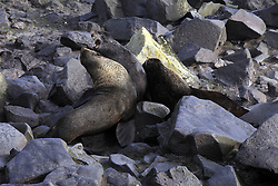 USA ALASKA ST PAUL ISLAND 9JUL12 - Male Northern Fur Seals (Callrhinus ursinus) fight at the Reef Point rookery on the island of St. Paul in the Bering Sea, Alaska.....Photo by Jiri Rezac / Greenpeace....© Jiri Rezac / Greenpeace
