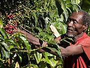 Dercha Mekonnen, 80 years old, picks some coffee. His wife has been learning how to grow vegetables from their neighbouring farmer.