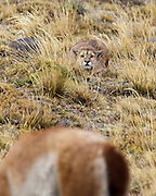 A mountain lion hunts a guanco.  The guanaco is grazing and is completely unaware the mountain lion is there. When the lion charges the guanaco is alerted and barely escapes capture.