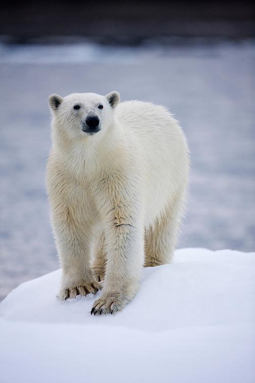Norway, Svalbard, Polar Bear (Ursus maritimus) walking on iceberg near Half Moon Island on summer evening