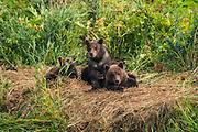 Kamchatka brown bear cups (Ursus arctos beringianus) cups, Kurile lake, Kamchatka, Russia