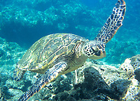 Nothing finer than swimming with Hawaiian sea turtles