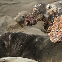 A mature, shielded bull Elephant Seal shows off an impressive scarred chest and demonstrates his dominance.