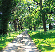 Straight country lane lined with horse chestnut trees, Aesculus hippocastanum, Suffolk, England UK