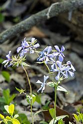 Blue Phlox (Phlox divaricata)
