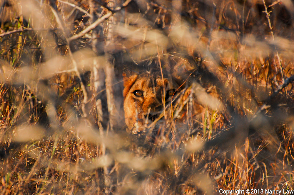 A lion in a terrifying pose; hiding in the brush, seeing all.