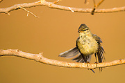 Juvenile male Willow Warbler (Phylloscopus trochilus). Photographed in Israel in September