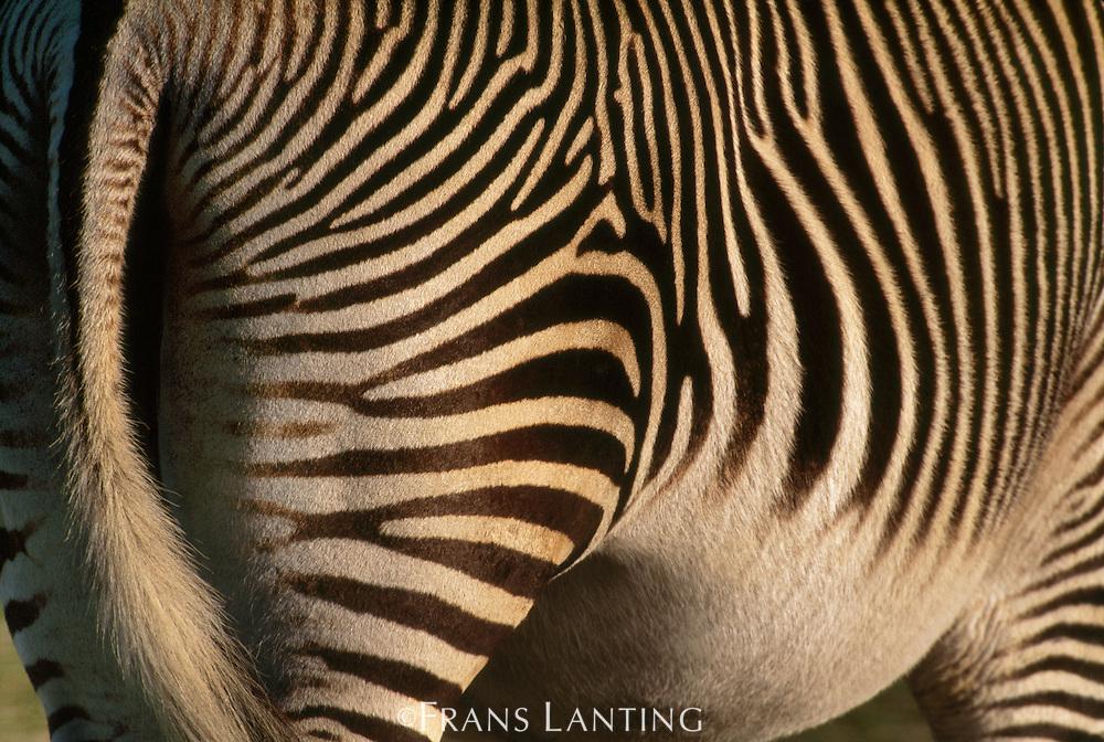 Grevy's zebra, Equus grevyi, Samburu National Park, Kenya