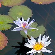Water lillies. Cancun, Quintana Roo. Mexico.