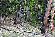 Whitetail deer in an old-growth winter range forest in spring. Yaak Valley, Montana