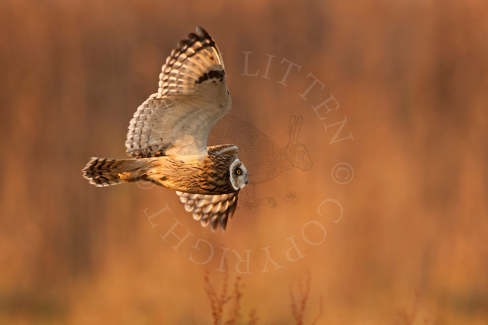Short-eared Owl (Asio flammeus) adult, in flight, hunting over grazing marsh, Norfolk.