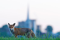 Urban fox (Vulpes vulpes) in London, United Kingdom