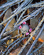 0115-1016B ~ Copyright:  George H. H. Huey ~ Arizona fishhook cactus [Mammillaria microcarpa], growing amidst dead ocotillo branches.  Saguaro National Park, Arizona.