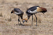 Adult and juvenil Grey Crowned Crane (Balearica regulorum)  feeding in Maasai Mara, Kenya
