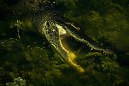 Lunch time in the River - American Alligator - Everglades National Park, Florida Edition of 100 EXP0255