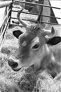 Ben's oxen on the grass, Glastonbury, Somerset, 1989