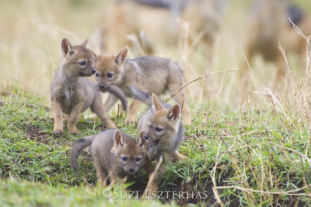 Black-backed Jackal<br /> Canis mesomelas<br /> Playful three week old pups at den<br /> Masai Mara Triangle, Kenya