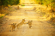 Three lion cubs play as they follow their mother down a dirt road, South Africa.<br /> <br /> The lion is one of the five big cats in the genus Panthera and a member of the family Felidae. With some males exceeding 250 kg in weight, it is the second-largest living cat after the tiger.