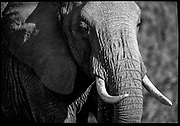 Elephant portrait with tusks, Samburu, Kenya, July, 2002