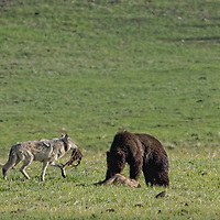Gray wolf with scrap walking grizzlybear on bison calf carcass in Yellowstone National Park