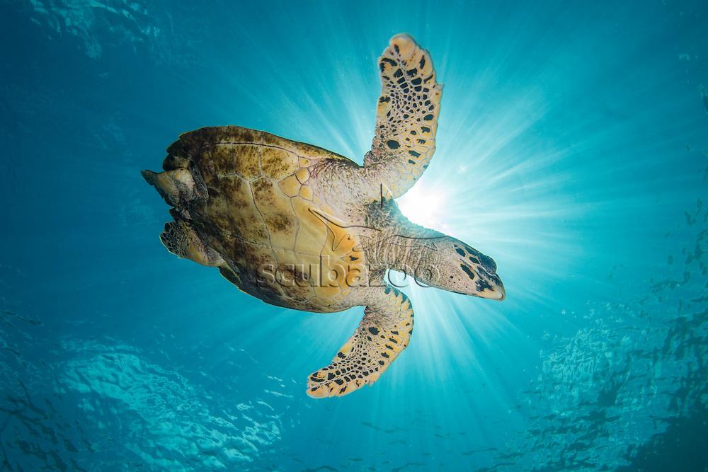 Green Turtle, Chelonia mydas, Mabul Island, Sabah, Malaysia, Borneo, South China Sea,