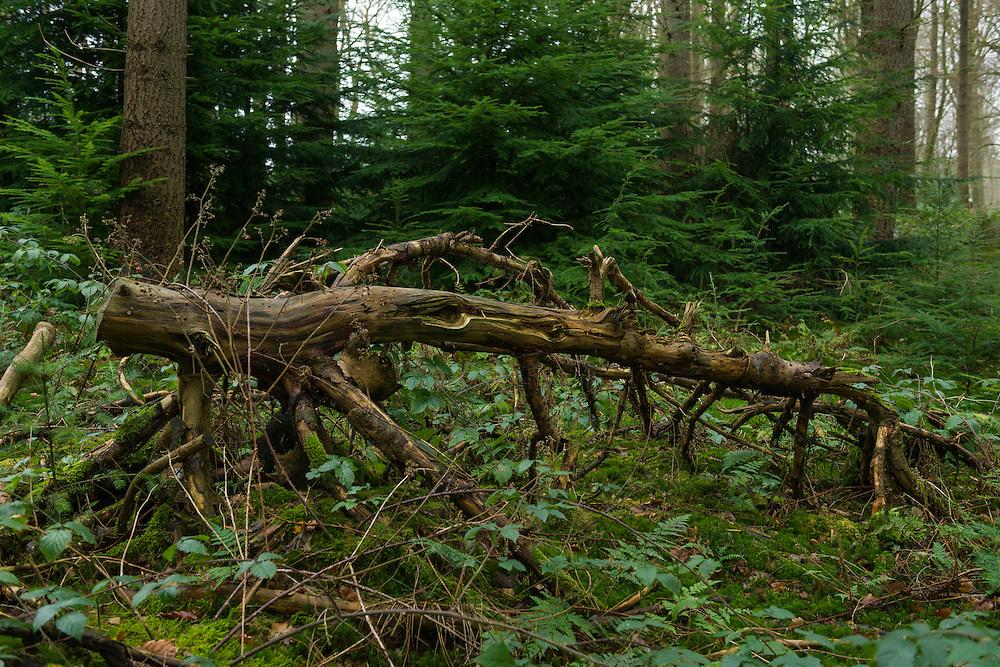 Nederland, Oosterbeek, 20151219.<br /> Omgezaagde boom in het bos<br /> Landgoed Hoog Oorsprong bij Oosterbeek<br /> Natuurgebied van het Gelders Landschap.<br /> NS Wandeling Hemelse Berg Arnhem met Ren&eacute;<br /> <br /> Netherlands, Oosterbeek, 20151219.<br /> Sawn tree in the forest<br /> Estate Hoog Oorsprong in Oosterbeek<br /> Nature reserve of the Geldern landscape.