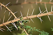 (Acacia tortilis) This tree has impressive 3-inch thorns that can puncture a safari truck tire, and yet are a staple of giraffes and are easily eaten by them. Arusha National Park, Tanzania.