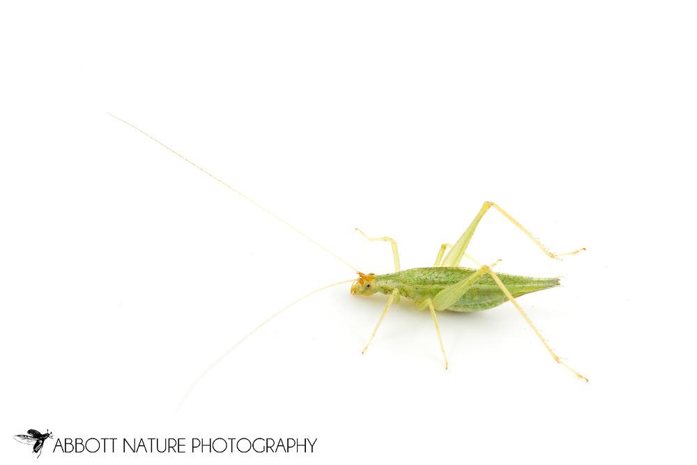 Western Tree Cricket (Oecanthus californicus) - male<br /> TEXAS: Travis Co.<br /> Brackenridge Field Laboratory; Austin<br /> 25-Feb-2013<br /> J.C. Abbott &amp; K.K. Abbott