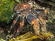 Palmyra Atoll crab photos