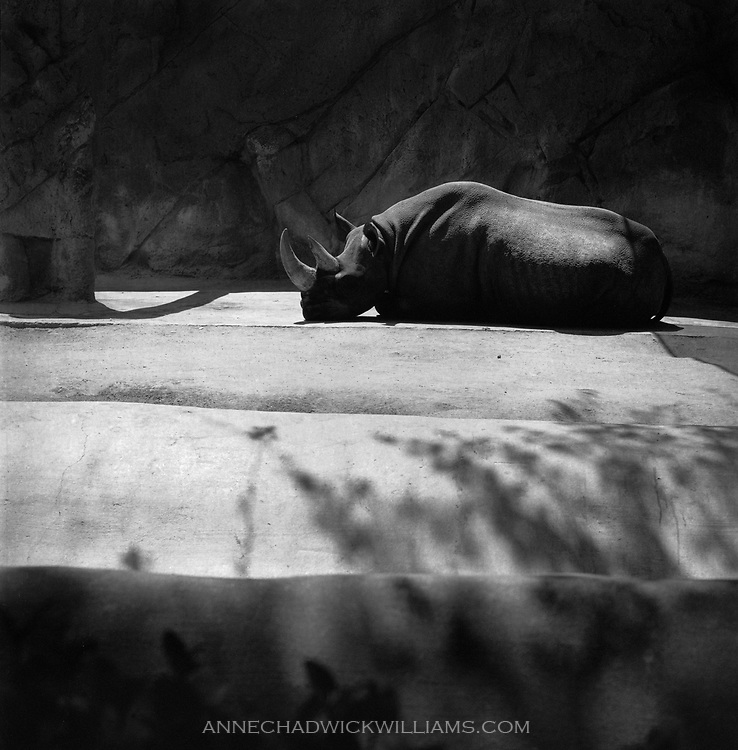 A rhino at the San Diego Zoo.
