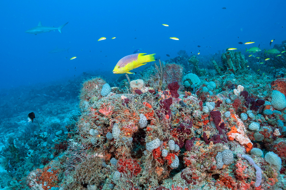 A Spanish Hogfish, Bodianus rufus, swims over a coral reef offshore Juno Beach, Florida, United States