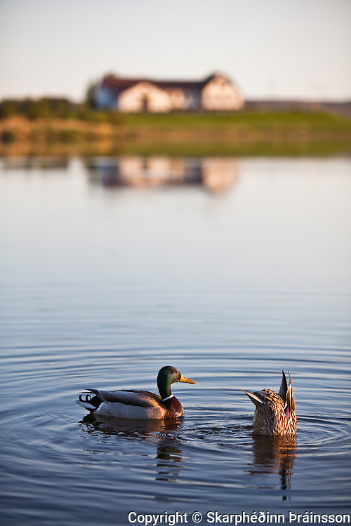Mallard duck on lake Elliðavatn