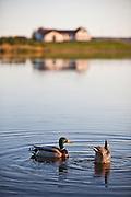 Mallard duck on lake Elliðavatn