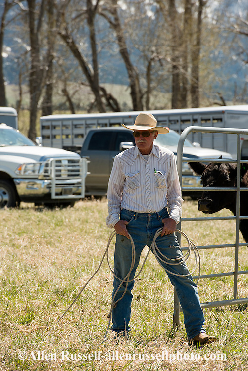 Cowboys, sorting calves, branding, Lazy SR Ranch, Wilsall, Montana, Lee Pinkerton
