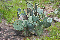 Texas Prickly Pear  (Opuntia lindheimeri) often grows to 5 feet tall, or may grow out horizontally. The spines are yellow which distinguishes it from other prickly pears species.  Texas Hill Country.
