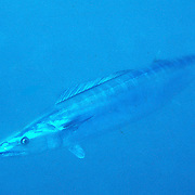 Wahoo inhabit open water in Tropical West Atlantic, also circumtropical; picture taken Nassau, Bahamas.