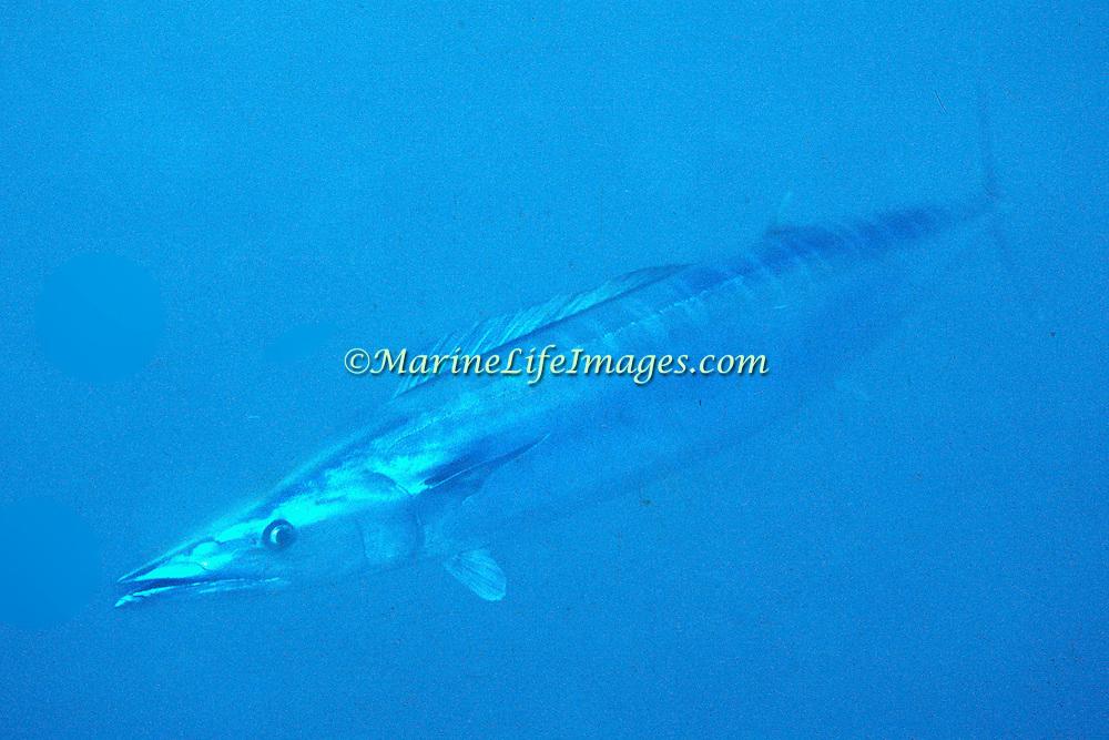 Wahoo inhabit open water in Tropical West Atlantic, also circumtropical; picture taken Nassau, Bahamas.